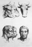 Animal to human evolution drawings - Cow