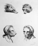 Animal to human evolution drawings - Badger